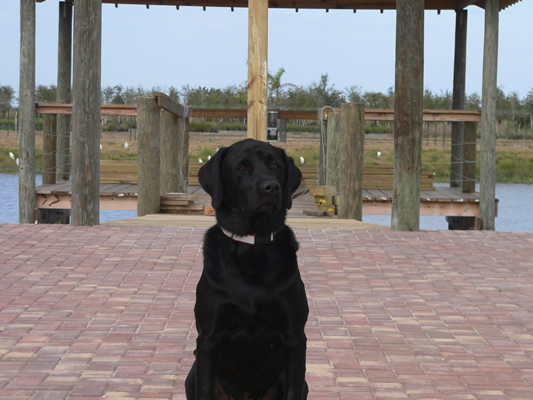 Our Black Lab 'Woody'